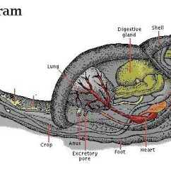 Slug Anatomy Diagram What Are Data Flow 511 Best Images About Classroom Minibeast On Pinterest   Salamanders, Ants And Life Cycles