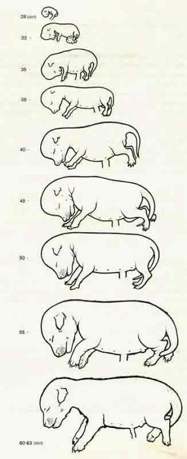 15 best images about dog pregnancy stages on Pinterest