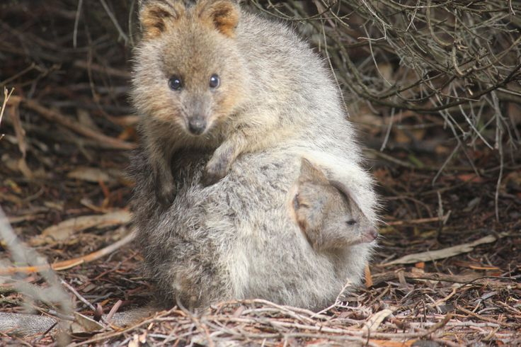Cute Mother And Baby Wallpapers Quokka With Joey In Pouch Rottnest Island W A