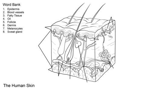 Human Skin Anatomy Worksheet coloring page from Anatomy