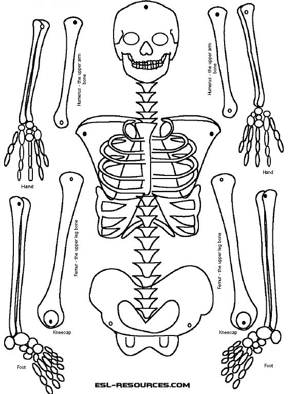 25+ Best Ideas about Human Skeleton For Kids on Pinterest