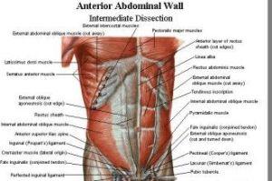 Abdominal Muscles in Muscles | Muscular  Bone | Pinterest