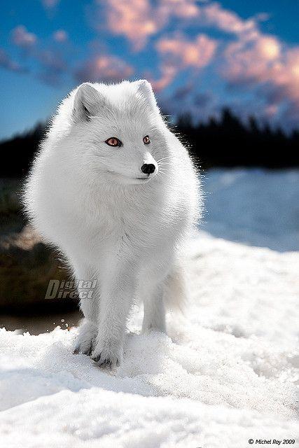 Best 25 Arctic fox ideas on Pinterest