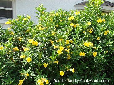 bush allamanda schottii