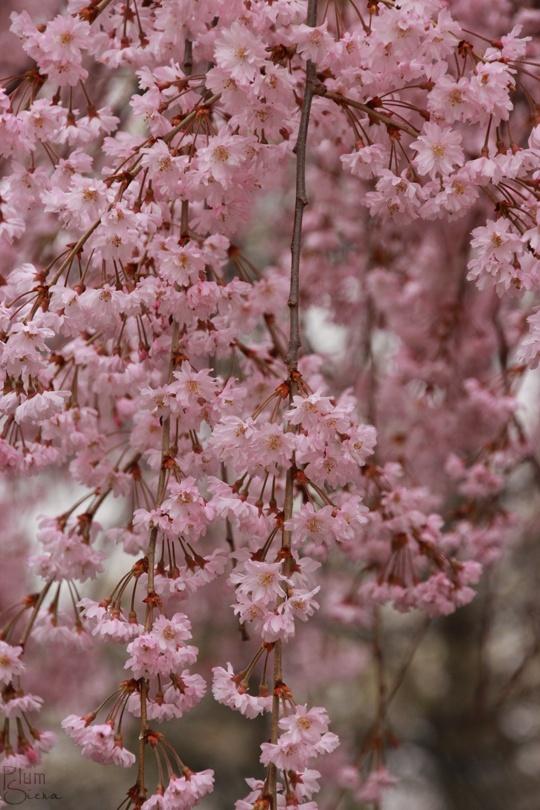 9 flowering cherry