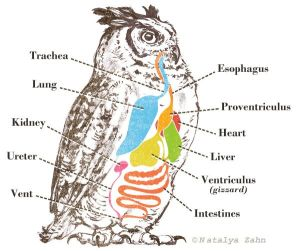 Great Horned Owl digestion diagram  illustrated by Natalya Zahn #animal #wildlife #anatomy