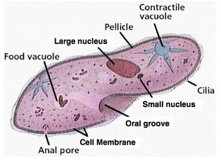 euglena cell diagram with labels fan center relay wiring label the below following parts: anal pore, contractile vacuole, cytoplasm ...