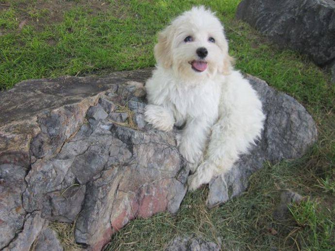 about Havanese