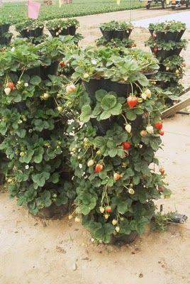25 Best Ideas About Strawberry Garden On Pinterest Strawberry