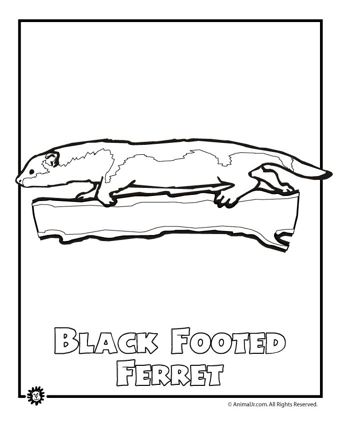North American Animals Coloring Pages Endangered-ferret