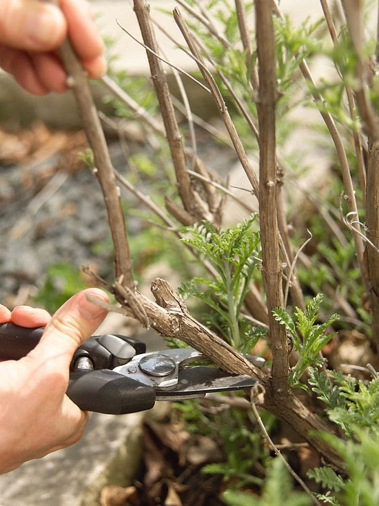 A good starting point for pruning any plant is to remove dead, diseased, or damaged stems as soon as y