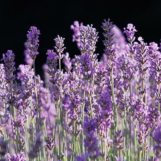 25 best ideas about Lavandula angustifolia munstead on