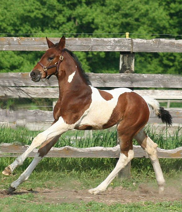 1000 images about TriColor Horses on Pinterest