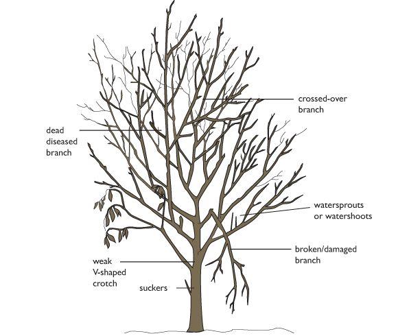 apple pruning diagram