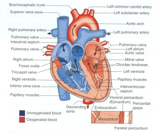 Diagram of the heart | Anatomy | Pinterest | Heart, The o