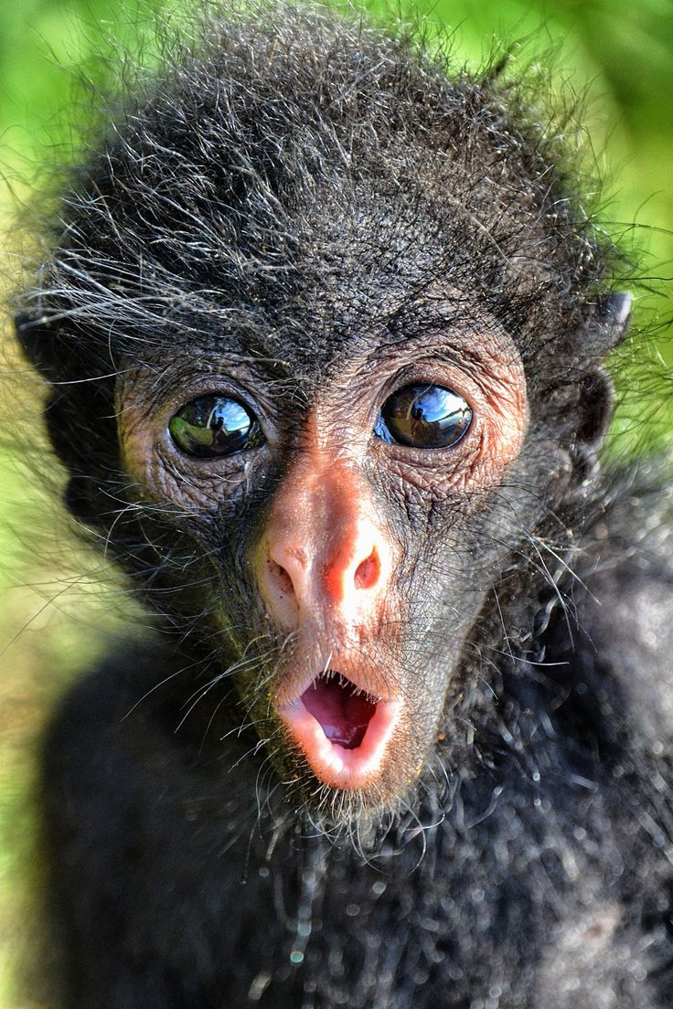 This Is A Baby Spider Monkey For The Serere Reserve Near Rurrenebaque In The Bolivian Amazon