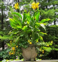 Best 20+ Canna Lily ideas on Pinterest | Tropical backyard ...