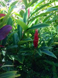 17 Best images about Alpinia Roja on Pinterest | Flower ...
