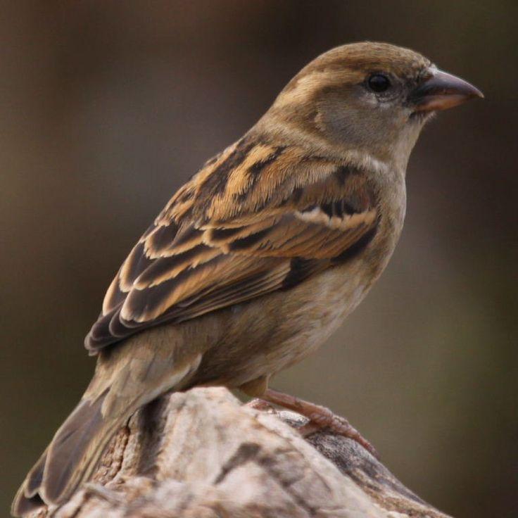 1000 ideas about House Sparrow on Pinterest  Sparrows