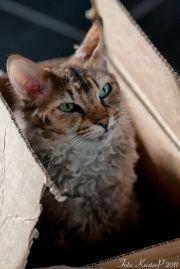 laperm cats' signature curly
