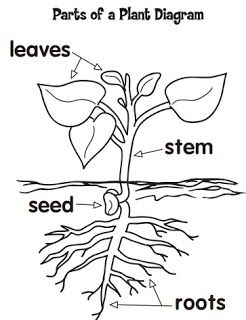 17 Best images about CCM Botany Anatomy on Pinterest