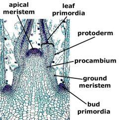 Dicot Root Diagram Bridged Mono Wiring Coleus Stem Tip, L.s.   Plant Anatomy I - Leaf, Stem, Pinterest