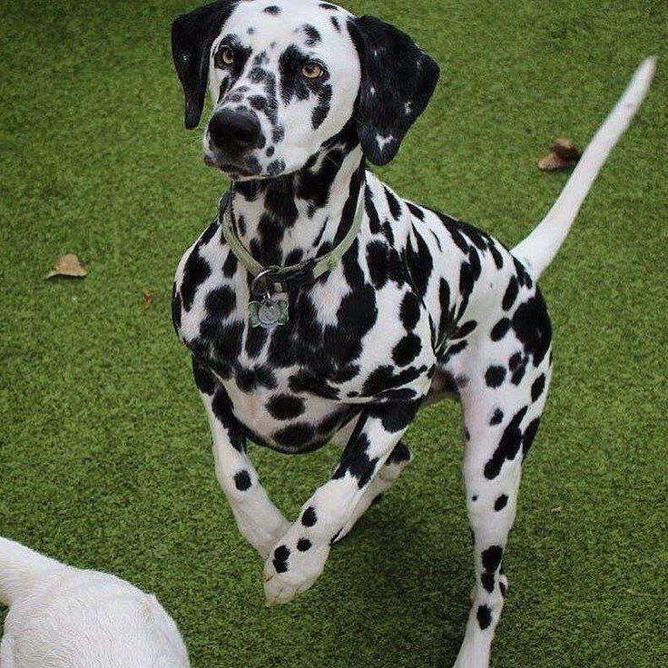 Dalmatian Just Cute!!! Pinterest Dalmatians