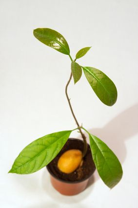 Directions for Planting Avocado Seeds