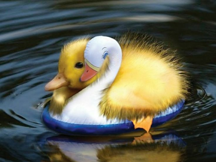 Wallpapers Fofo Cutes 17 Best Images About Feeling Ducky On Pinterest Computer
