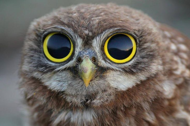 Girl Mascot Costume Wallpaper Baby Owl With Very Big Eyes Adorables Pinterest