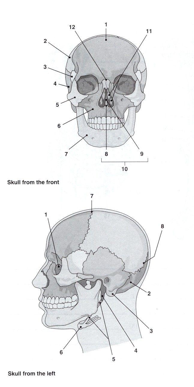 medium resolution of 25 best ideas about skeleton labeled on pinterest human skeleton labeled body bones