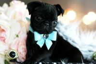 Teacup Pug Wrapped In A Bow | Happiness in a teacup ...