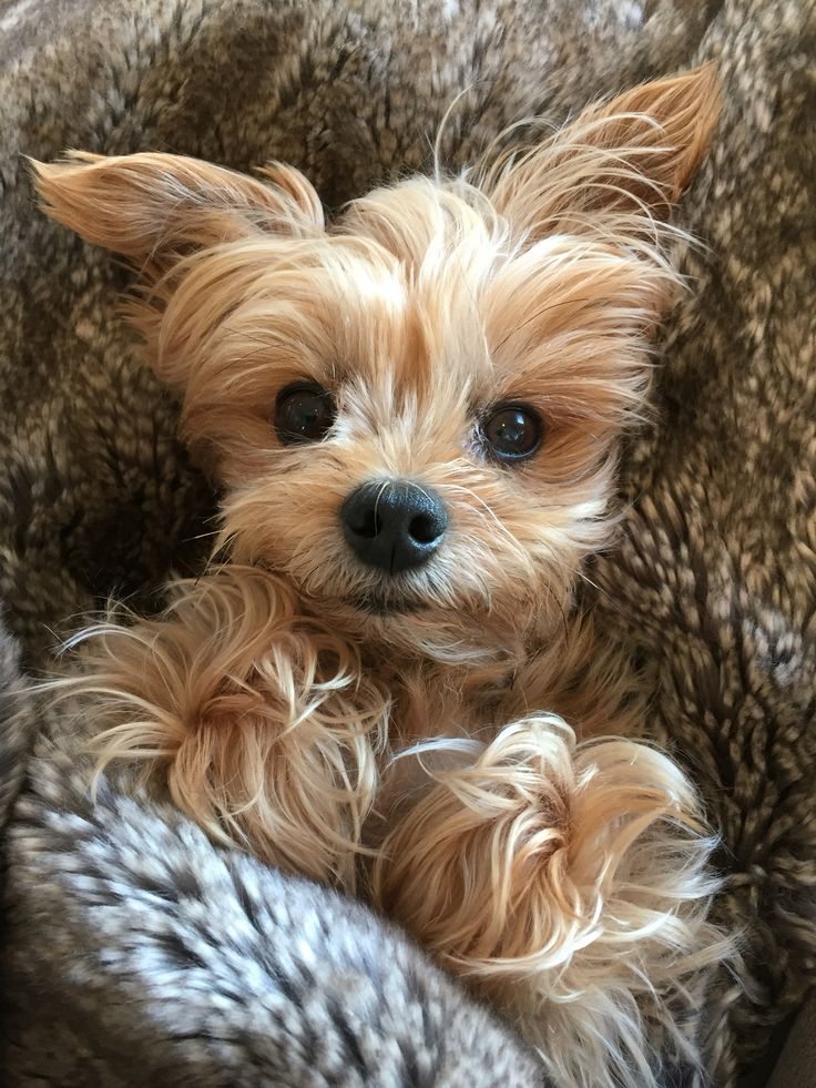 25 Best Ideas About Yorkie On Pinterest Yorkshire