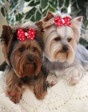 silky terrier haircuts