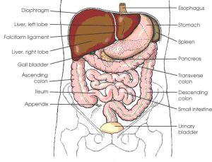 10 Best images about ANATOMY on Pinterest | Top websites