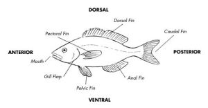 Basic fish diagram (fins labeled) | fish lesson | Pinterest | One fish two fish, Red fish and