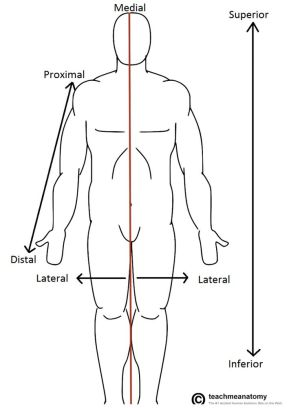 anatomicaltermsoflocation751x1024png (751×1024