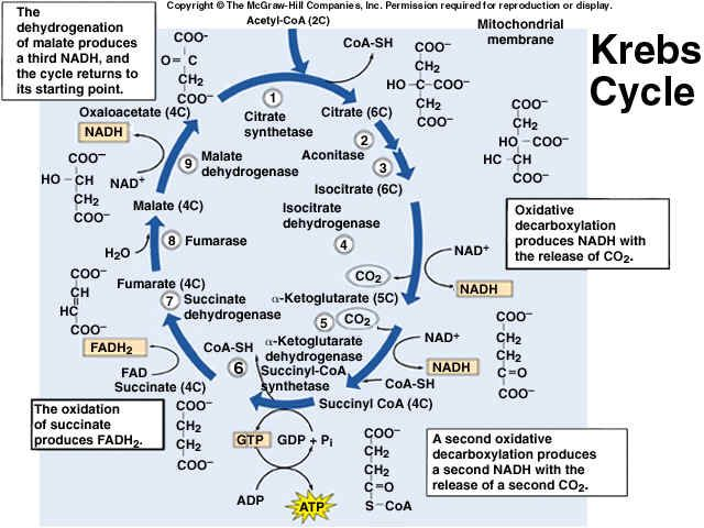 electron transport chain diagram for dummies 1985 corvette starter wiring krebs cycle | biology. pinterest the o'jays and good