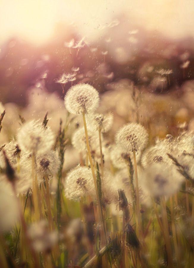1000 Ideas About Dandelions On Pinterest Dandelion Seeds Dandelion Art And Leaves