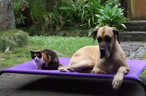 Αποτέλεσμα εικόνας για Honey the Great Dane & Lemon the Tortoiseshell Cat Magic Moments Together