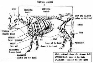 Bovine Anatomy  Skeletal   Livestock   Pinterest   Anatomy