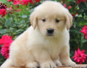 Golden Retriever Puppies For Sale In Pa