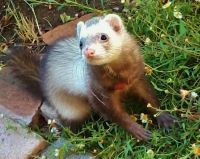 1000+ images about Ferret Fun! on Pinterest | Funny, Toys ...
