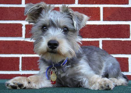 Jack Russell Terrier Cute Puppies Wallpaper Schnorkie If We Do Get A Dog It Ll Be One Of These