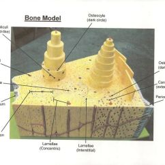 Chicken Muscle Diagram Rb25det Alternator Wiring Bone Model Labeled - Bing Images | Biology Pinterest Models, Jewelry And Search