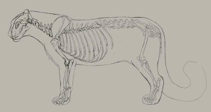 leopard anatomy diagram