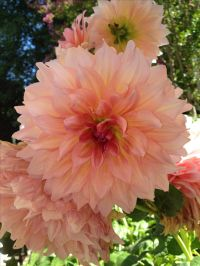 149 best images about DAHLIAS on Pinterest | Gardens ...