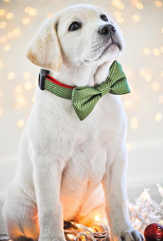 Yellow Lab Puppy in bow tie …. too cute! #Labrador_Retriever