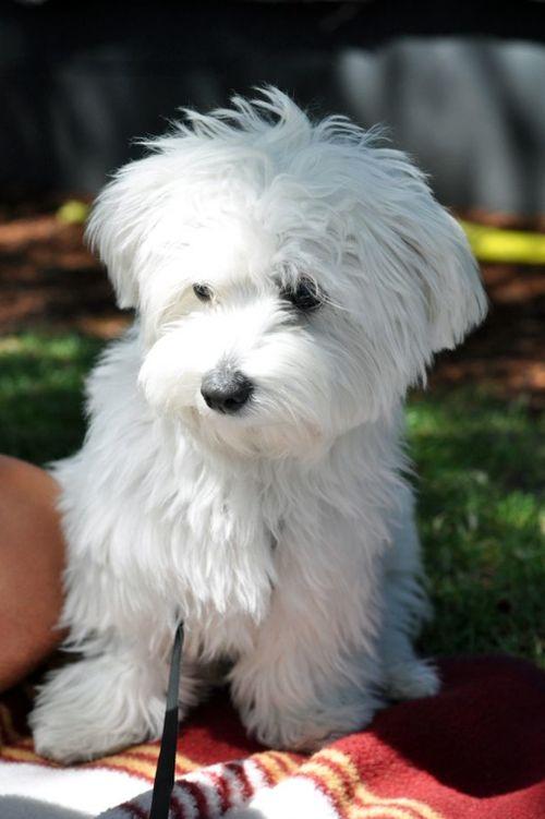 3260 Best I Maltese Dogs Images On Pinterest