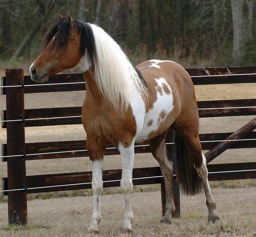 84 best TriColor Horses images on Pinterest